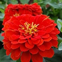 50 Seeds Zinnia Dreamland Scarlet FLOWER SEEDS
