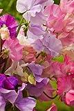 Semillas de guisante enano - Lathyrus odoratus - 36 semillas
