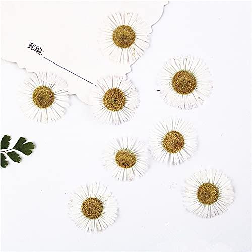 KONGZIR Nature Blanc Combinaison de Couleurs des Fleurs pressées, éternelle Rose for Le Bricolage Bookmark Carte-Cadeau Invitation de Mariage, Nail Art déco du Visage (Color : 12pcs 1.5 2cm)