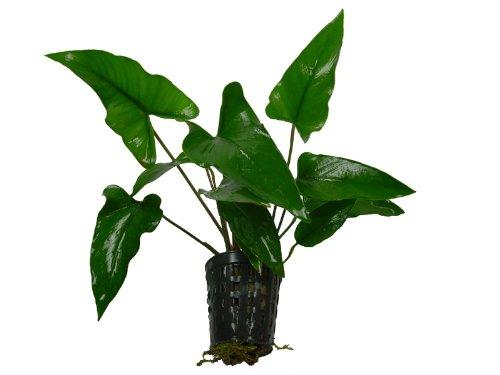 1 Topf Anubia gracilis, Aquarienpflanzen, Aufsitzerpflanze, barschfest