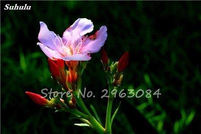 100 Pcs Nerium Oleander Flower Look Seed Tout comme les plantes Rose Fleur Bonsai jardin Arbre Quatre Saisons fleurs vivaces Easy Grow 12