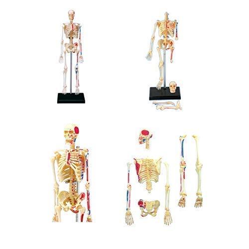 Laqemhu Modelo de Esqueleto de Cuerpo Humano anatómico médico 46 Piezas Desmontables Modelo de enseñanza médica Modelo anatómico de Esqueleto de visión 4D