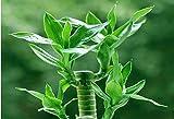 2016 NUEVOS 20 PC / bolso, semillas de bambú de la suerte, balcón en maceta, la siembra es simple,...