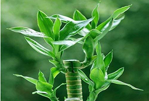 2016 NOUVEAU 20 pcs / sac, graines de Lucky Bamboo, balcon en pot, la plantation est simple, le bourgeonnement taux de 95%, l'absorption de rayonnement, mélangé c