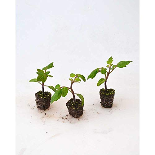 Balkontomate/Strongboy - Yellow F1 - Solanum lycopersicum - 3 Pflanzen im Wurzelballen