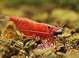 Topbilliger Tiere Red Sakura Garnele 5X Neocaridina davidi und eine