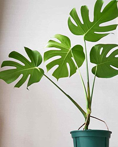 Portal Cool Semi 100Pcs Monstera deliciosa Giardino Bonsai Turtle Fogli dell'albero Filodendro