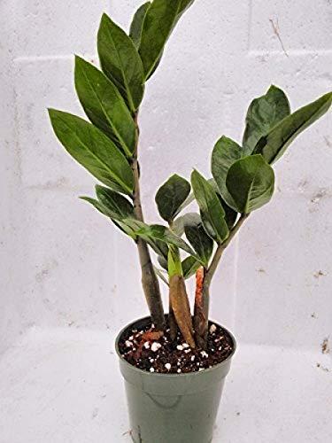 FERRY Bio-Saatgut Nicht nur Pflanzen: ZZ - Zamioculcas zamiifolia - Einfach zu wachsen Haus in einem 4 wächst