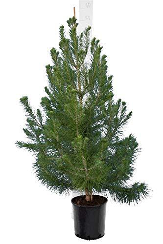 Aleppo-Kiefer - Pinus halepensis - Gesamthöhe 150-170 cm - Topf Ø 26 cm