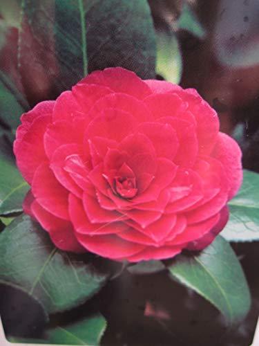 Baumschule Pflanzenvielfalt Camellia Japonica Principessa Baciocchi - Japanische Hochstamm-Kamelie Principessa Baciocchi