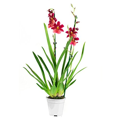 Orchidee von Botanicly – Cambria Orchidee – Höhe: 60 cm, 2 Triebe, rote Blüten – Cambria Burrageara Nelly Isler