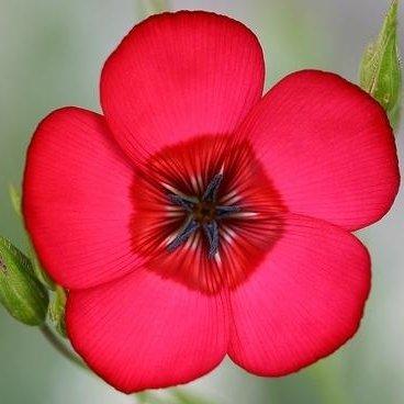 scarlet Flachs, rot Flachs Samen - Linum Waldlilie