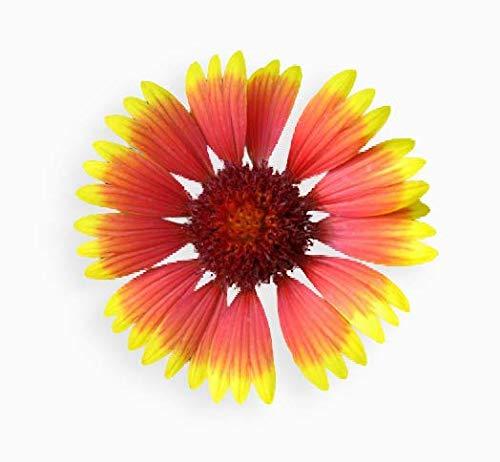 50 graines Fleurs - GAILLARDE Vivace à double variée - Gaillardia