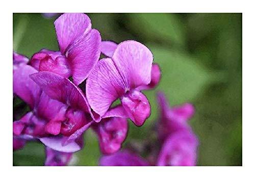 Podalyria calyptrata - Podalyria - 10 graines
