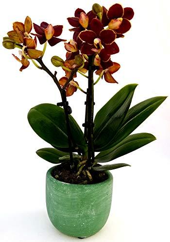 ORCHIDEA PHALAENOPSIS NERA IN VASO VERDE SMERALDO, Orchidea Falenopsis, Pianta Vera