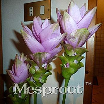 ASTONISH SEEDS: A la venta 100PCS Curcuma alismatifolia Semillas de plantas fáciles de cultivar fresca del jardín Bonsai Macetas Semillas Semilla