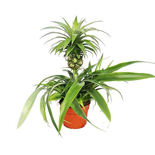 Exotenherz - Ananas Champaca - Zierananas Zimmerpflanze