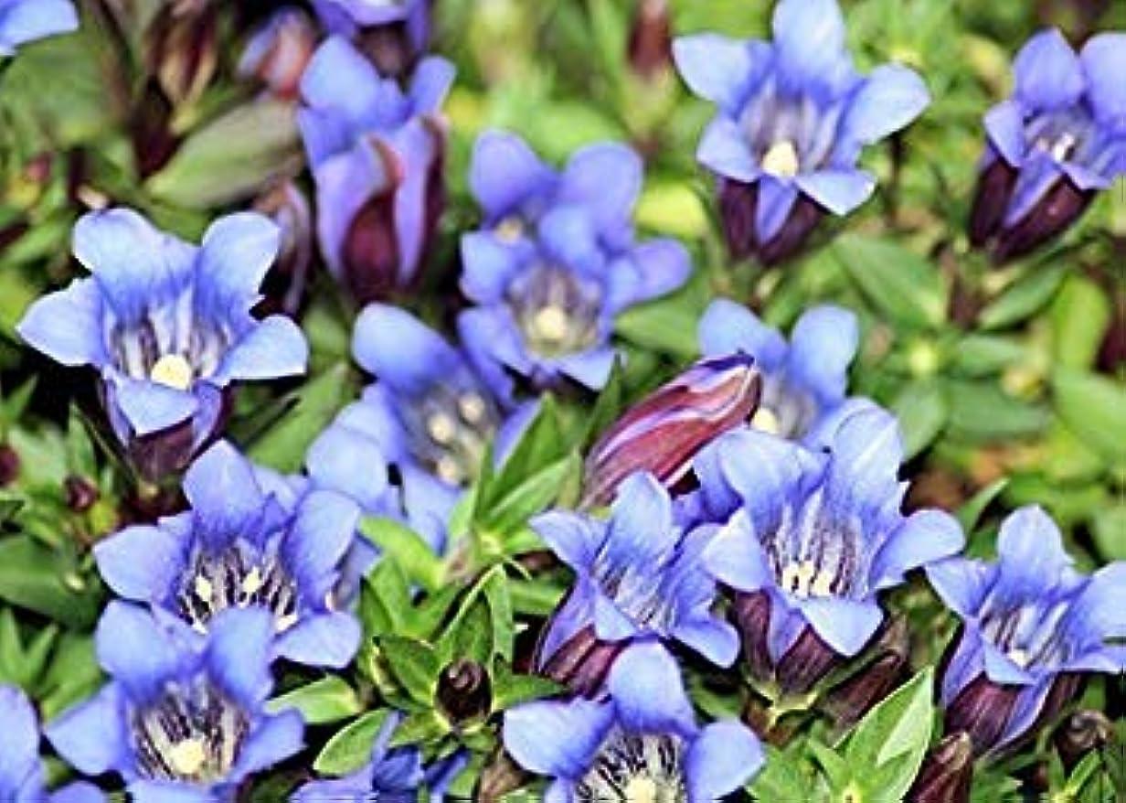 祈る修正巻き戻すPLATのFIRM:リンドウScabra VAR Buergeri(レア日本種)新鮮な種子をxは