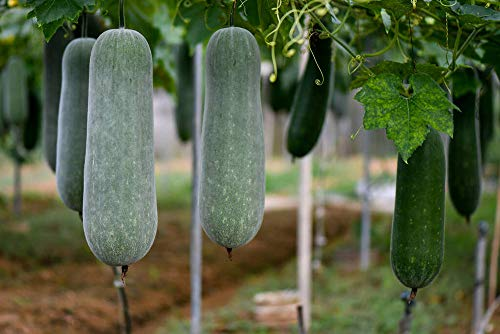 Winter Melon (50 Seeds) Wax Gourd Hairy Round Tong Garden Vegetable Organic Chinese Green Herb Seeds or Planting Outdoor for Cooking Dish Soup