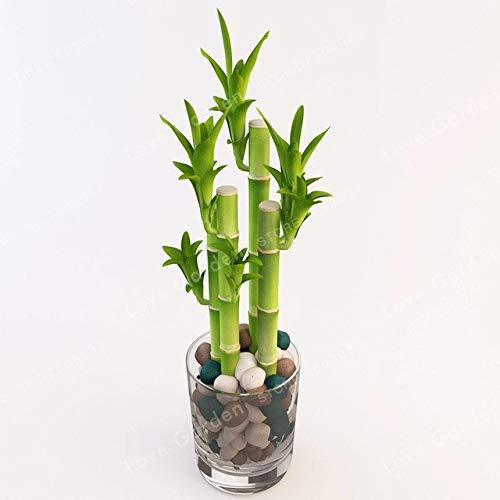 Pinkdose 50Pcs Lucky Bamboo Bonsai, kleine Topfpflanzen reinigen die Luft, das Pflanzen ist einfach, angehende Rate von 95% Zierpflanze-Baum: 4