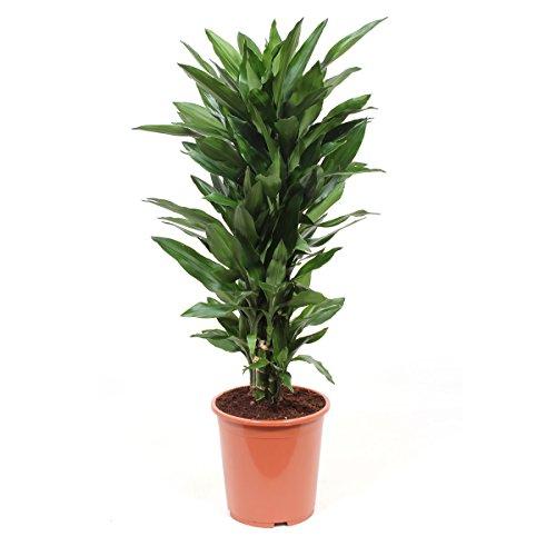 Zimmerpflanze von Botanicly – Drachenbaum – Höhe: 100 cm – Dracaena Janet Lind