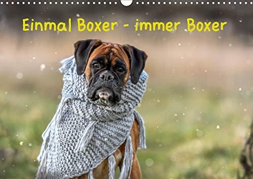 Einmal Boxer - immer Boxer (Wandkalender 2021 DIN A3 quer)