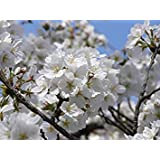 発芽種子:40シード:USA家宝オーガニックソメイヨシノの木10-80種子