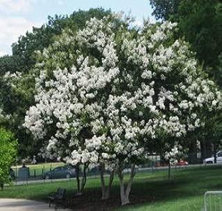 Best sarah favorite crape myrtle tree Reviews