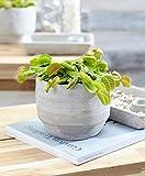 dionaea muscipula |droseraceae |pianta carnivora venere acchiappamosche in vaso |altezza 10-15 cm |dimensione del vaso Ø 8 cm