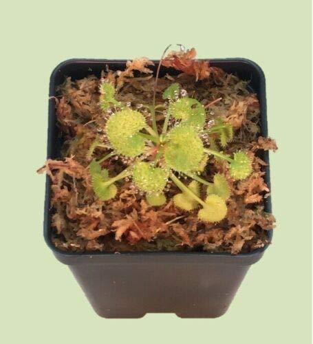 Live Carnivorous Drosera prolifera Sundew Our shop most popular 1 year warranty Plant 2.5