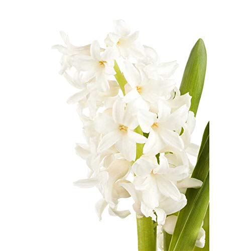 Hyazinthe, Hyacinthus orientalis 'White...