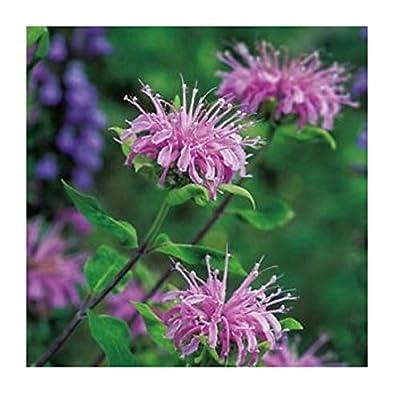 David's Garden Seeds Herb Bergamot Wild SL8277 (Purple) 200 Non-GMO, Open Pollinated Seeds