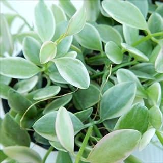 ディスキディア シュガーエメラルディ 斑入り 7.5cmポット 観葉植物