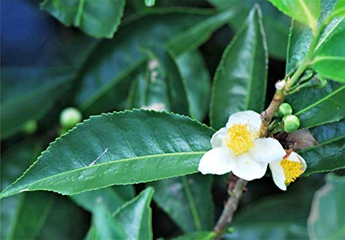 5 Se-EDS Tea Pla-nt Black & Green Drinking Tea Camellia Sinensis Tr-ee Shrub Flo-wer Se-EDS