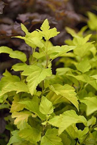 Blasenspiere Physocarpus opulifolius 'Dart's Gold' im Topf gewachsen ca. 40-60cm