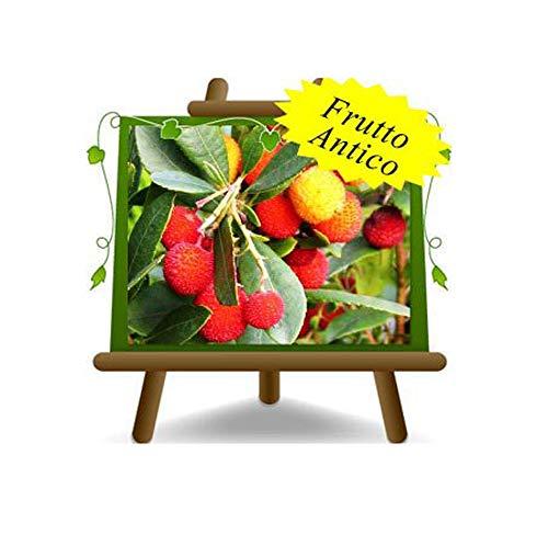 Corbezzolo Arbutus Unedo = Ciliegia Marina – – Pianta da frutto su vaso da 26 – Alberello - albero max 160 cm - 4 anni