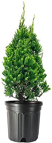 Robusta Green Juniper | 1 Live Gallon Size Tree | Juniperus Chinensis | Drought Tolerant Cold Hardy Evergreen Screening Plant