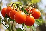 Sugar Lump Cherry Tomato, 200 Heirloom Seeds Per Packet, Non GMO Seeds