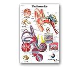 Corps humain Graphique 24' X 35' Anatomie humaine Art Soie Copie d'affiche de corps Carte mur Photos de l'éducation médicale, Motif Comme la première image