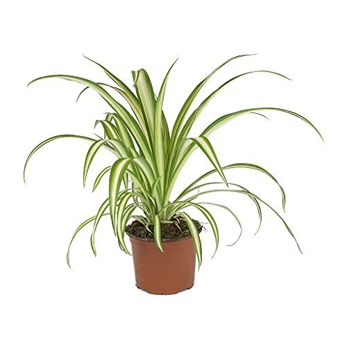 Cinta o Planta Lazo de Amor Natural Planta de Interior y Exterior