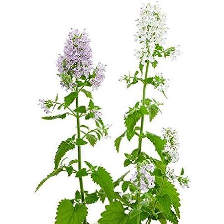 Catnip Seeds Nepeta Cataria Puurfect Garden Treat 4 Your Cat 500 to 5000 SEEDS