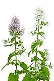 500 Catnip Seeds...image