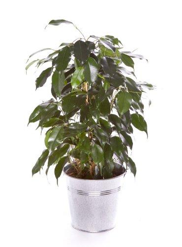 Ficus Benjamina 40cm