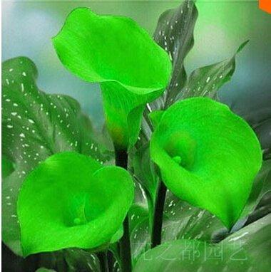 Calla graines Promotion Supérieure !!! 24 Types 50PCS rares Graines Fower pour Garden Home & Garden Flores Plantes d'intérieur