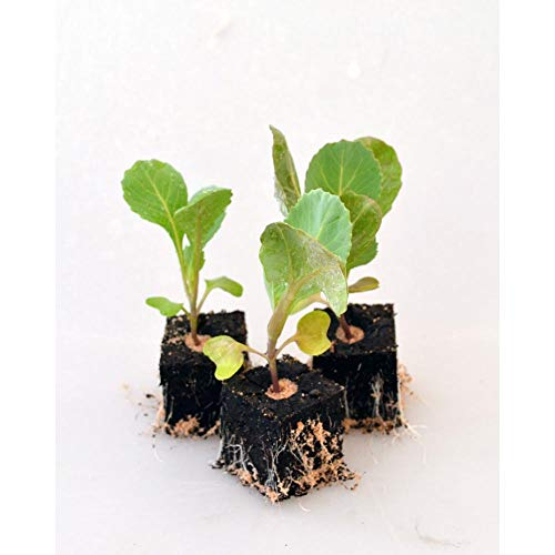 Gemüsepflanzen - Weisskohl/Weisskopf - Brassica oleracea convar. capitata var. alba - Brassicaceae - 6 Pflanzen