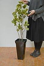 スモークツリー 120cm