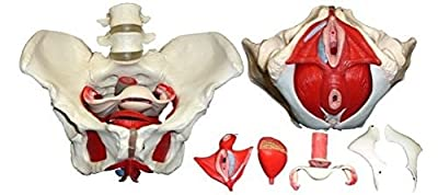 S24.3308 Medical Anatomical Female Pelvis Model with Removable Organs, 7-part, Life Size from Cranstein Scientific