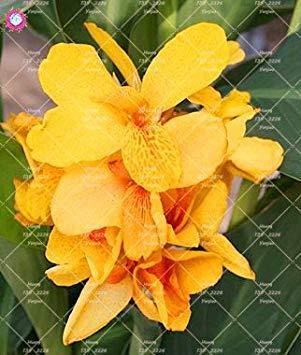 Vista 7: 10 pcs Nain Bonsaï Canna Lily Graines Belles Graines De Fleurs Magnifique Feuillage Vivace Plante En Pot Pour La Maison Jardin 7