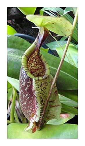Nepenthes rafflesiana green var. squat - Kannenpflanze - 5 Samen