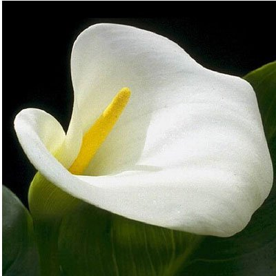 Rare Vert Calla Lily Seed pot Bonsai Balcon Fleur 20 couleurs disponibles 100 particules / lot